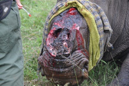 White rhino with horn brutally removed by poachers